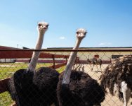 1280-683663846-ostrich-farming-bird